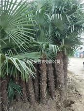 棕榈图片/棕榈报价
