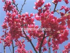 中國紅櫻花種植要點