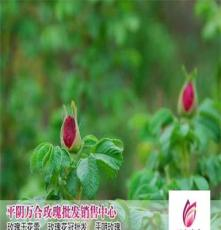 平陰玫瑰枸杞花茶特價直銷
