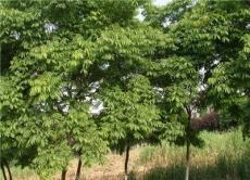 大量供应中山杉,落羽杉,池杉,水杉,女贞,香樟,等大小乔木,
