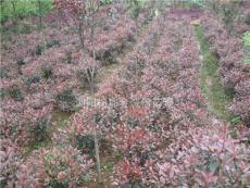 湖南红叶石楠.红叶石楠树、红叶石楠球、红叶石楠小苗、杯苗