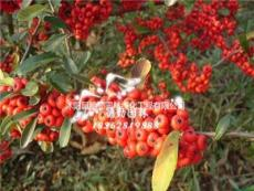 供應火棘 火棘小苗 火棘球 苗圃基地批發價格綠化苗木量大從