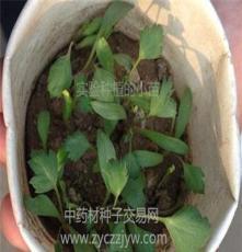 防風種子價格 安國市元泰種子經營部(在線咨詢)