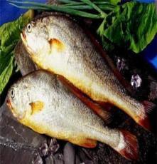 寧德 冰鮮水產品 批發 冰鮮/冷凍 寧德無公害大黃魚 200-300g