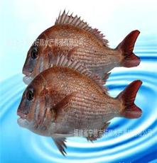 水產養殖海鮮 批發 冰鮮/冷凍 無公害真鯛 500-700g