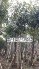 漳州腊肠树