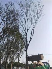 江蘇供應櫸樹-櫸樹基地-高度25公分的精品櫸樹