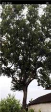 司氏苗木精品櫸樹信息17