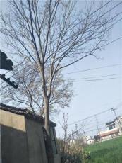 江蘇地區供應20公分的精品櫸樹