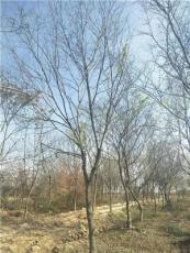叢生櫸樹大規格