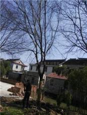 櫸樹*新價格/櫸樹報價