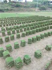 長沙草坪長沙草皮長沙馬尼拉草價格