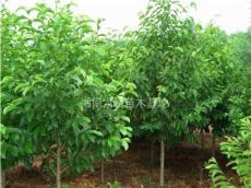 樂昌含笑、移栽樂昌含笑、5、10、15、20cm樂昌含笑樹