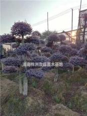 提供2019红花继木价格,红花继木精品球报价,造型红花继木