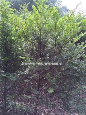 处理红豆杉苗木