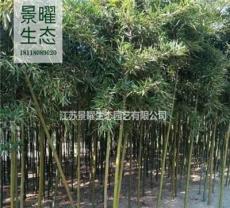雷竹的產地在哪里/哪里便宜/江蘇景曜生態基地直銷批發價格圖片