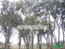 樸樹價格/原生樸樹價格/野生樸樹價格