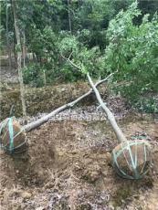 南京红森苗木有限公司供应8公分榉树