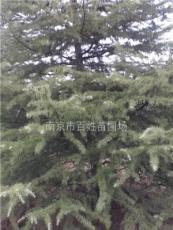 重慶江北雪松價格