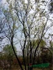 南京自產自銷10公分12公分15公分樸樹價格
