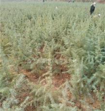 雪松基地供应南京1米5高度雪松树苗价格报价。