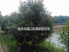 江苏南京红叶石楠树价格,8公分红叶石楠树价格信息。