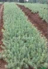 江苏雪松籽播苗基地供应雪松30公分籽播苗价格报价。