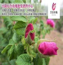 批發新鮮平陰玫瑰最新批發價