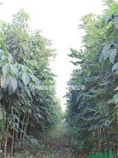 山東地區供應米徑1-4公分七葉樹,菩提樹