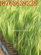 細莖針茅種植基地