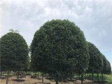 桂花P1米5—5米出售