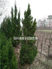 精品龍柏樹 高度80厘米至2米