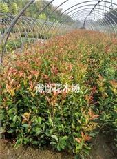 河南鄢陵豫鄢花木供应红叶石楠营养钵 河南红叶石楠千亩基地