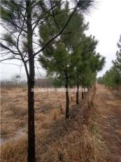 大小規格浙江濕地松7公分到20公分基地