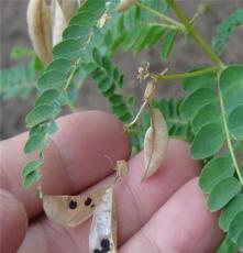 黃芪種子產地 內蒙古黃芪種子 中藥材種子交易網,射干桔梗紅花