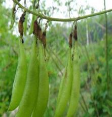 安國市元泰種子經營部(在線咨詢) 北京黃芪種植 黃芪種植前景