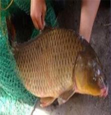 北京垂釣魚苗低價格批發 草魚 鯉魚 鯽魚