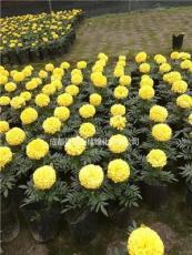 黄色橙色万寿菊杯花批发  万寿菊工程花卉销售
