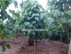 7-8公分木芙蓉出售  木芙蓉工程苗出售