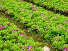 湖南杜鵑 法國冬青、樂昌含笑、紅楓