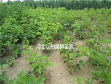 天目瓊花高度1.2米5分枝 批發價格8元