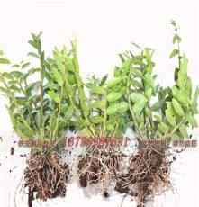 蘭州鐵皮石斛苗盆栽苗大苗銷售