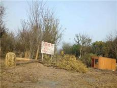 江蘇地區供應大量櫸樹樸樹各種規格