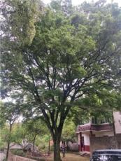 司氏苗木基地大量現貨各種規格的櫸樹,有需要的可以聯系我