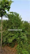 河南鄢陵供應80-3米冠幅金銀木