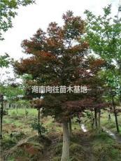 湖南紅楓價格 本土紅楓和美國紅楓的區別 紅楓的品種 湖南價格