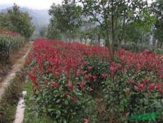 湖南红叶石楠插扦小苗 湖南红叶石楠球 树 红叶石楠图片