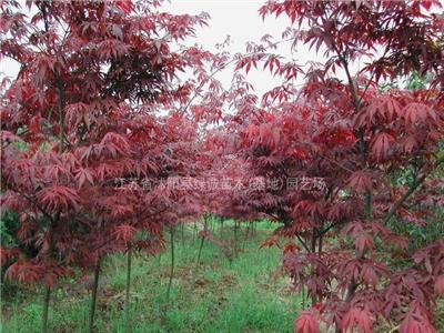 江苏红枫种植基地|红枫价格|红枫供应商