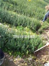 紅豆杉杯苗,代售40-80公分高紅豆杉袋苗,紅豆杉杯苗