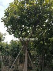 福建 精品富贵榕20-25公分 地苗袋苗